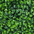Where to rent 12x12  Boxwood Squares in Iowa City IA